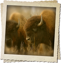 Buffalo Hunting at Prairie Sky